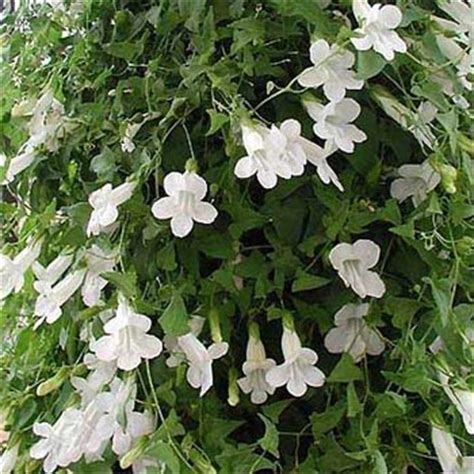 Asarina Seed  Climbing Snapdragon Flower Seeds