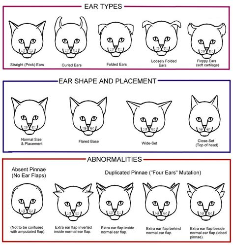 curled curved  folded ear cats miau colores de