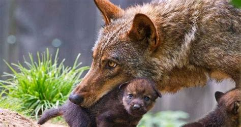 esperti internazionali  difesa del lupo italiano