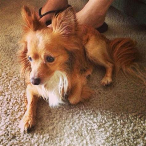Dogs That Dont Shed Papillon by 10 Images About Dogs That Don T Shed On