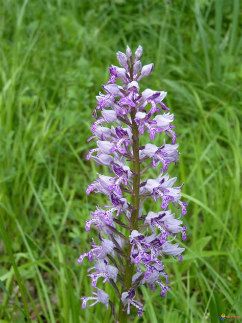 Photo : Orchis militaire