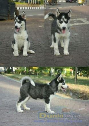 dunia anjing jual anjing siberian husky puppies