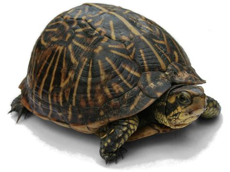 Images Of Turtles Turtle Simple The Free Encyclopedia