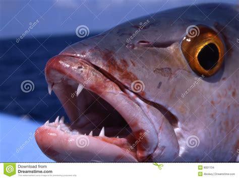 snapper pargo rojo dentice grouper dientes archivo imagenes