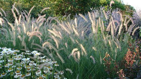 gräser für den garten ziergr 228 ser f 252 r den garten tipps und sorten