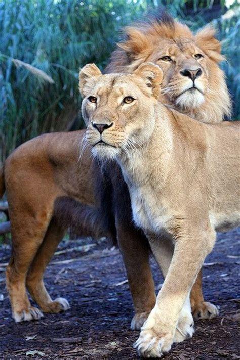 Best 25+ Lion And Lioness Ideas On Pinterest  Lion Couple