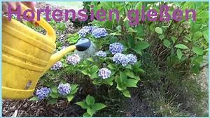 Alpenveilchen Gießen Wie Oft : hitzewelle hortensien richtig gie en hortensie gie en wie ~ A.2002-acura-tl-radio.info Haus und Dekorationen