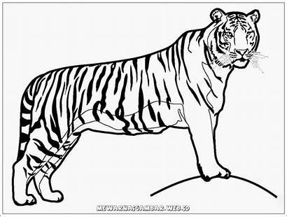 Harimau Gambar Mewarnai Tiger Coloring Realistic Binatang