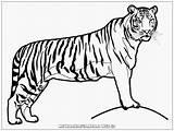 Harimau Gambar Mewarnai Tiger Coloring Realistic Sketsa Kartun Binatang Untuk Contoh Kolase Animasi Hewan Singa Buat Dengan Paud Warna Printable sketch template