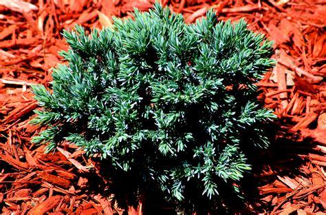 blue star juniper shrubs growing information