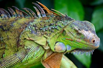 Iguana Lizard Chameleon Reptile Animal Tropical Head