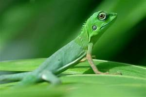 AsiaPhotoStock, green crested lizard