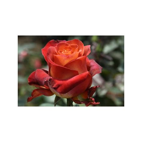 Typically, this variety is pretty pricey. Coffee Break Roses 100 Stems - FlorasourceDirect.com / Buy ...