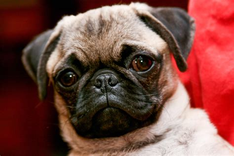 Pug Dog Breed Information Pictures And More