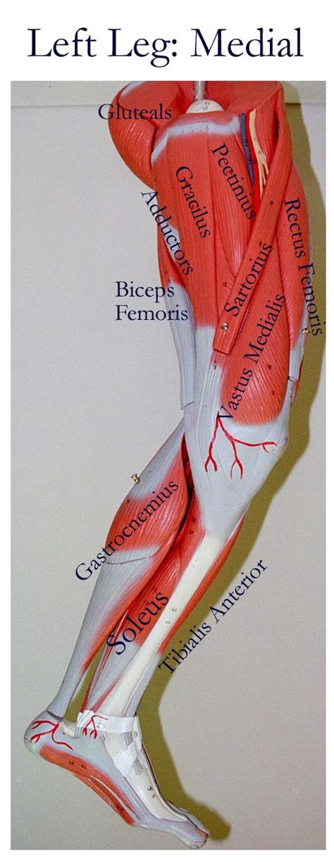 Do you know the functions of any of the other organs in the diagram? 654 best images about Muscle Anatomy on Pinterest | Massage, Muscle and The muscle
