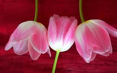 Petals Colorful Flowers Flower Nature Plant Desktop
