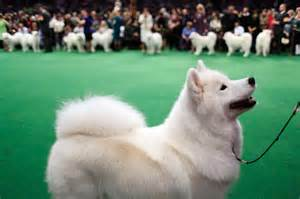Samoyed Westminster Dog Show