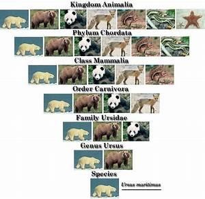 Polar Bear Taxonomy Classification Chart
