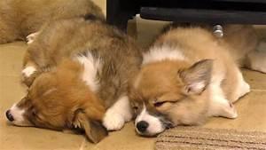 cute corgi puppies sleeping / お昼寝中のコーギー子犬 20150620 Part 5 ...