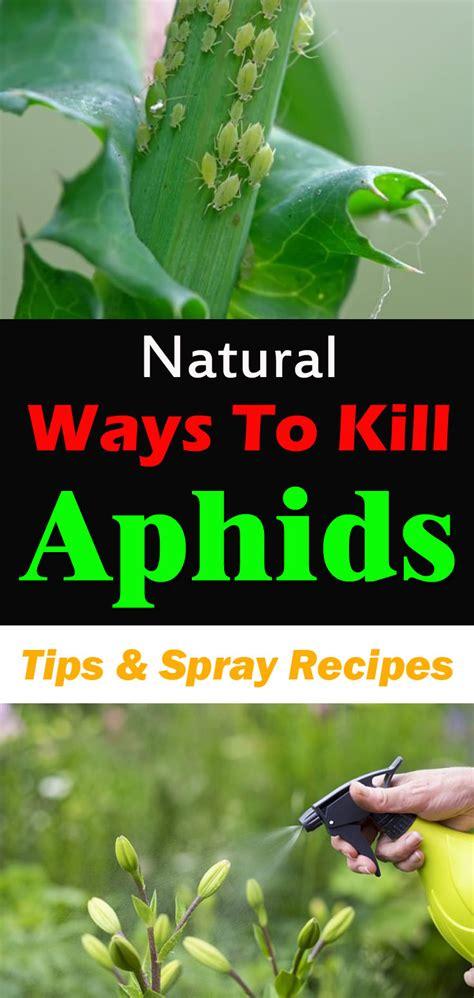 natural ways  kill aphids tips  spray recipes