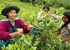Coffee farmers in Peru abandon crops to grow coca…