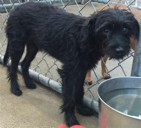 karen terrier humane society  dallas county