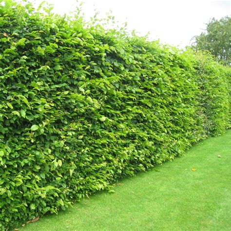 hedge plants carpinus betulus hedging pack hornbeam hedging plants