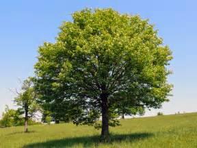 trees planet sorbus torminalis service tree