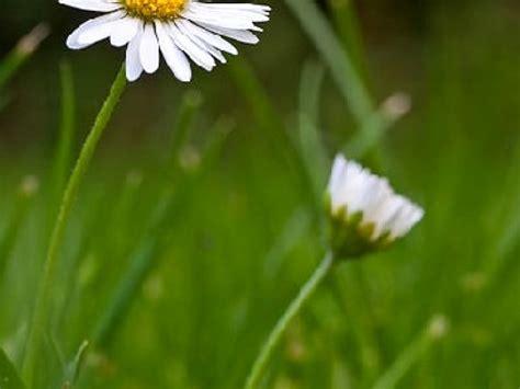 quizz cuisine la pâquerette une fleur de printemps