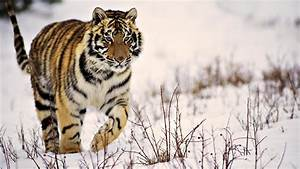 Wild Tiger in the Snow - Nature's Wallpapers