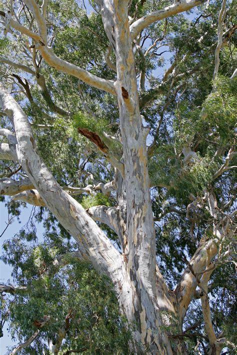 Roter Eukalyptus Wikipedia