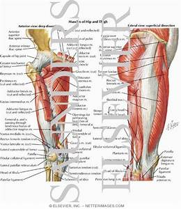 Muscles Of Hip And Thigh  Anterior And Lateral Views