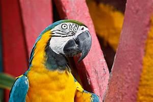 Oiseau Jaune Et Bleu : l 39 oiseau bleu et jaune de macaw image stock image du assez exotique 27055049 ~ Melissatoandfro.com Idées de Décoration