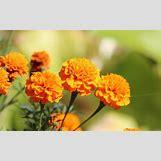 Marigold Flower Wallpaper | 1600 x 1000 jpeg 116kB