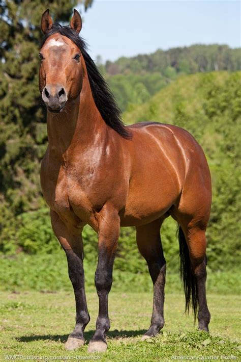 horse quarter horses breeds american paint most petpress pony walking tennessee visit