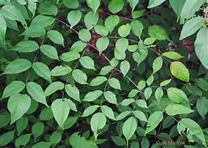 Bipinnately Compound Leaf
