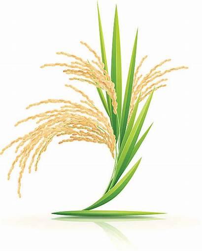 Rice Background Plant Vector Illustration Clip Illustrations