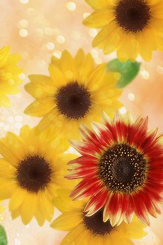 iphonezone  awesome sunflower wallpapers  iphone