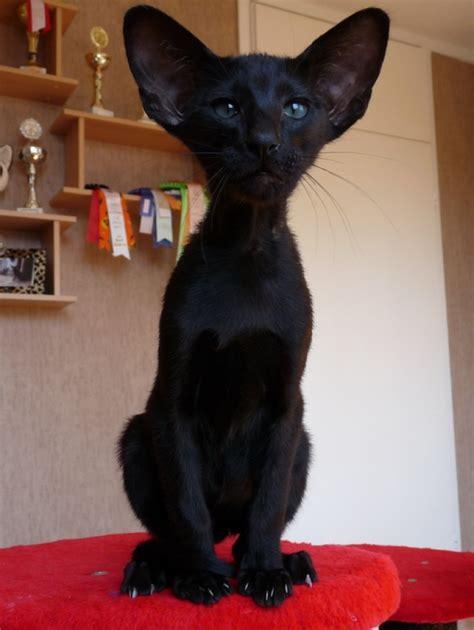 orientalisch kurzhaar kitten orientalische kurzhaar