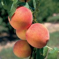 Desertgold Peach Standard