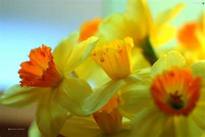 Narcissus Flowers Yellow Flower Wallpapers Backgrounds Thean