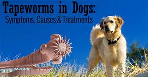 Tapeworms In Dogs Causes Related Keywords - Tapeworms In ...
