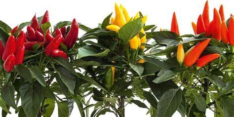 coltivare peperoncino in vaso peperoncini da coltivare tutto l anno cose di casa