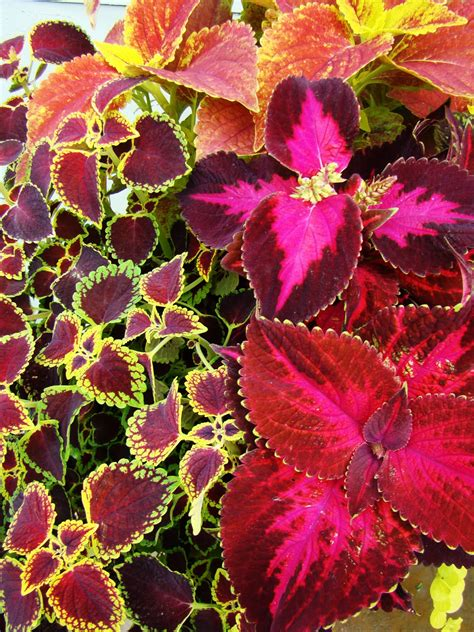 coleus plants a reliable stunner coleus