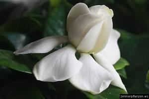 Gardenia Jasminoides Pflege : gardenie gardenia jasminoides zimmerpflanzen pflege ~ A.2002-acura-tl-radio.info Haus und Dekorationen