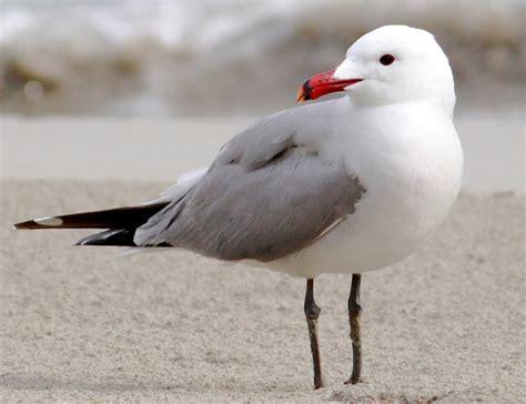 Gabbiano Corso - uccelli di sardegna