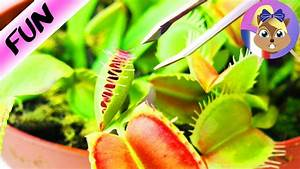 Plante Repulsif Mouche : plante carnivore qui mange une mouche la v nus tombe mouches se referme youtube ~ Melissatoandfro.com Idées de Décoration