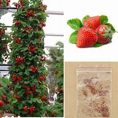100pcs Red Climbing Strawberry Seeds, Garden Fruit Plant