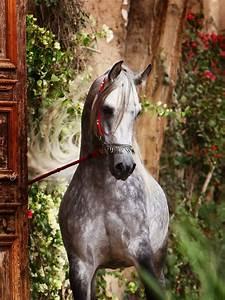 gorgeous Spanish Arabian Dapple Grey! | Arabian Horses ...