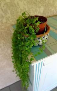 Plante Verte Salle De Bain : plante grasse d interieur tombante pivoine etc ~ Melissatoandfro.com Idées de Décoration